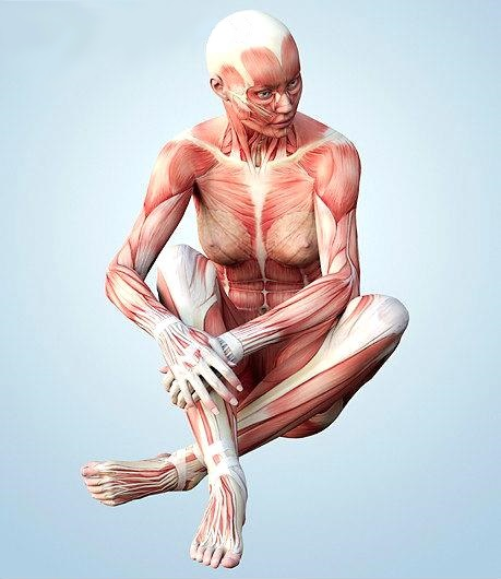 the muscle system - free from the gilded cage, Human body